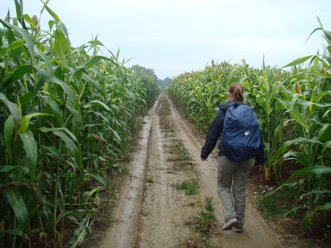 szlak pośrodku pola kukurydzy